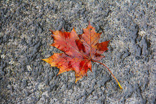 Wet, Maple, Maple Leaf, Red, Orange, Colorful, Nature