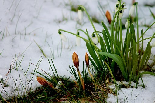 Crocus, Bud, Snow, Flowers, Winter, Blossom, Bloom