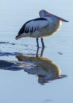 Pelican, Water, Bird, Feathered, Nature, Animal