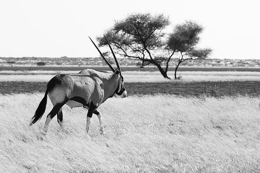 Gemsbok, Gemsbuck, Oryx, Antelope, Nature, Wild