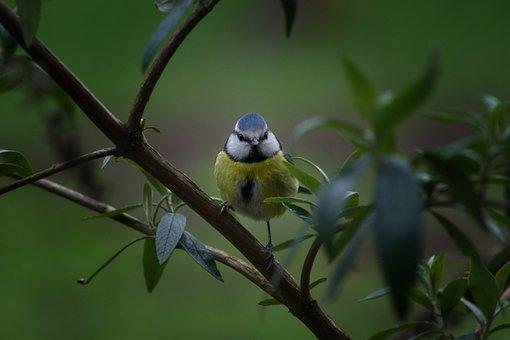 Bird, Nature, Animal World, Small, Wing, Blue Tit, Tit