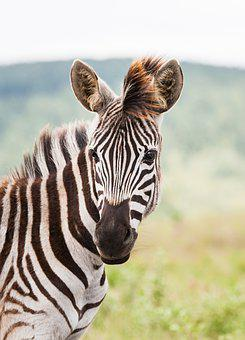 Young Zebra Portrait, Zebra Foal, Eyes, Looking, Head