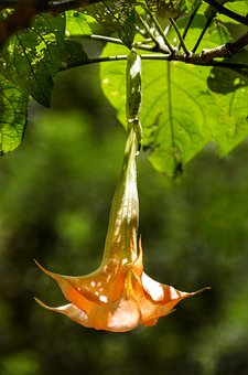 Brugmansia, Plant, Trumpet, Pendulous, Flower, Leaf