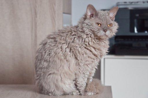 Cat, Animal, Cute, Selkirk Rex, Sheep Cat, Lilac