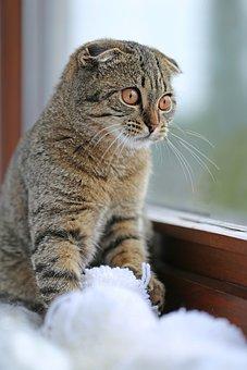 Cat, Striped, Scottish, Kitten, Pompoms, Wool, Gray