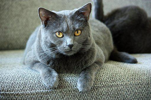 Chartreux, Cat, Animals, Pet, Mieze