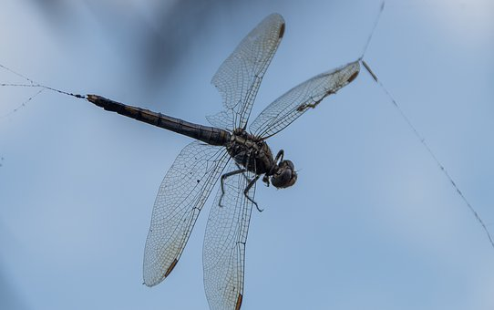 Dragonfly, Insect, Caught, Trapped, Web, Spider's Web
