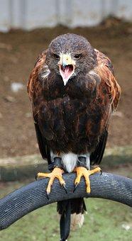 Harris Hawk, Raptor, Eagle, Prey, Wildlife, Bird