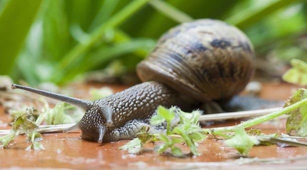 Snail, Gastropod, Clam, Slow, Macro