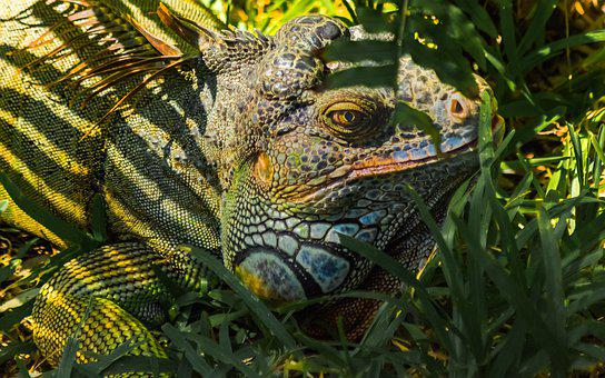 Nature, Animal, Wildlife, Reptile, Tropical, Iguana