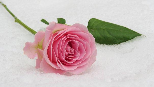 Rose, Winter Rose, Blossom, Bloom, Leaf, Flower, Floral
