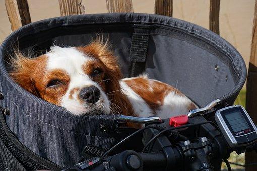 Portrait, Cute, Dog, Animal, Small, Sweet, Pet, Lying