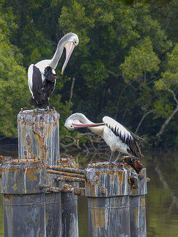 Australian Pelican, Water Bird, Bird, White, Water