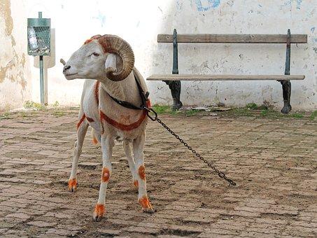 Bock, Mutton, Sheep, Horns, Alger, Kasbah, North Africa