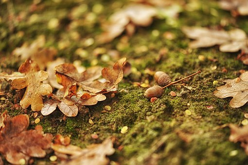 Autumn, Leaf, Nature, Season, Garden, Oak, Oak Leaves