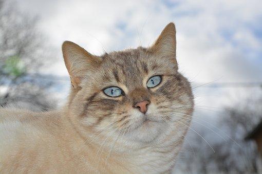 Cat, Pussy Nala, Feline, Blue Eyes, Domestic Animal