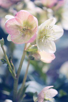Flower, Plant, Nature, Garden, Christmas Rose, Flowers