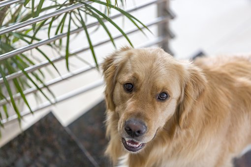 Cute, Dog, Pet, Animal, Golden Retriever