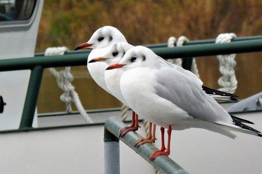 Gulls, Bird, Water Bird, Seevogel, Animal