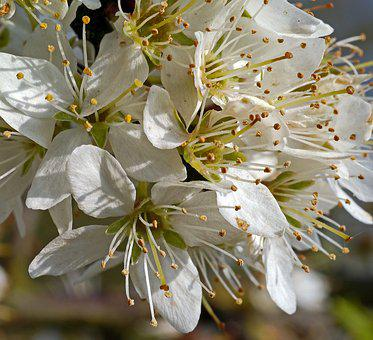 Blackthorn Flowers, Macro, Lush, Petals, Stamens