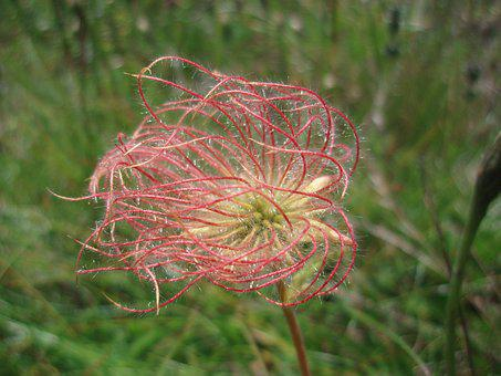 Pasque Flower, Alm, Alphabet, Alpine, Summer, Meadow