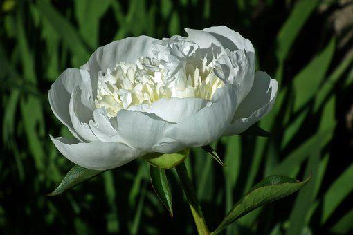 Nature, Flower, Peony, White, Plant, Summer, Leaf
