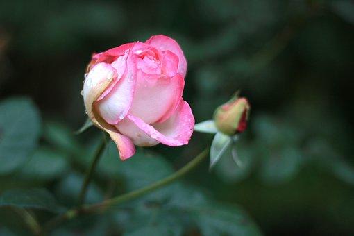 Mouthwatering, Rose, New Rose Garden