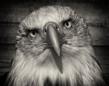 Raptor, Portrait, Eagle, Wildlife, Prey, Bald, Bird
