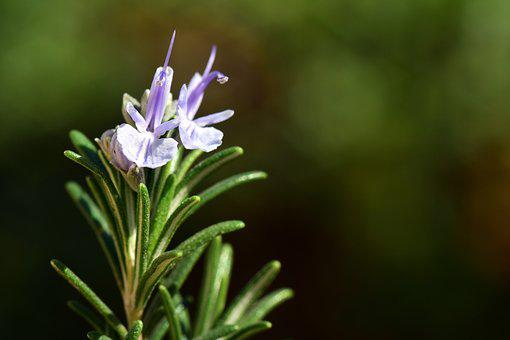 Rosemary, Spice, Herb, Fragrance, Smell, Kitchen Herb