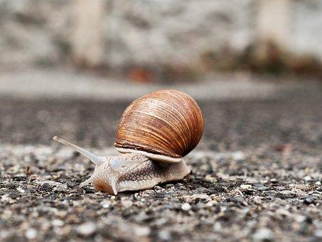 Snail, Slowly, Bauchfuesser, Exoskeleton, Shellfish