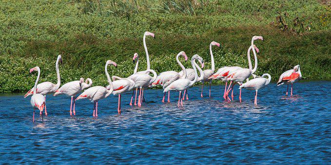 Greater Flamingos, Wading, Blue Water, Pink