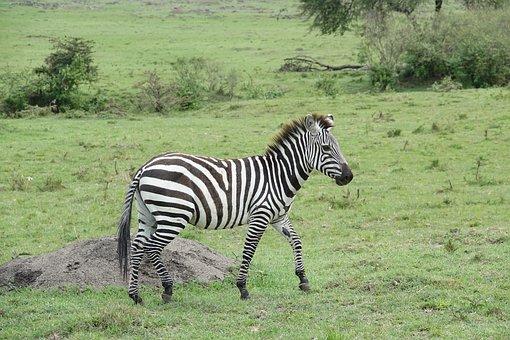 Animal, Mammal, Grass, Wildlife, Nature, Zebra