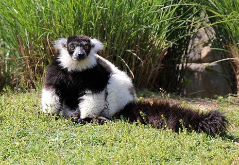 Nature, Animal, Animals, Lemur, Lemurs, Madagascar