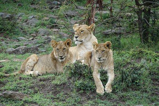 Wildlife, Mammal, Cat, Carnivore, Nature, Lion, Kenya