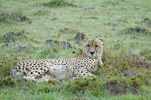 Wildlife, Mammal, Animal, Cheetah, Nature, Kenya