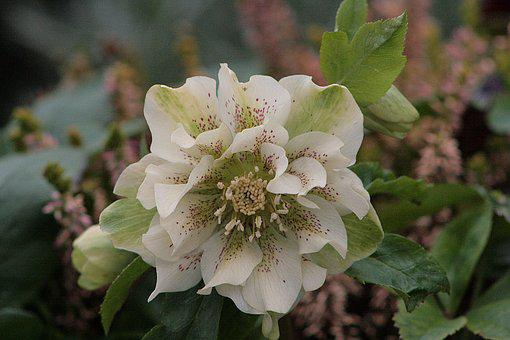 Flower, Nature, Plant, Garden, Christmas Rose