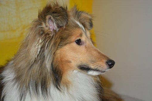 Dog, Bitch Nayana, Shetland Sheepdog, Animal Portrait