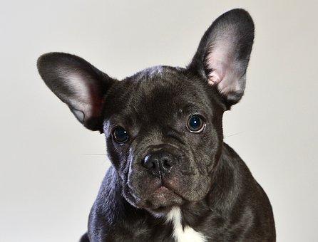 French Bulldog Blue, Dog, Animal, Pet, Puppy