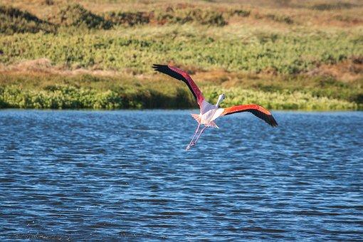 Greater Flamingo In Flight, Flamingo, Pink, Wingspan
