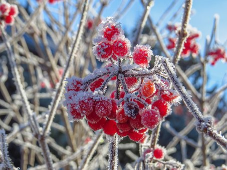 Berry Red, Frozen, Hoarfrost, Branches, Winter, Frost