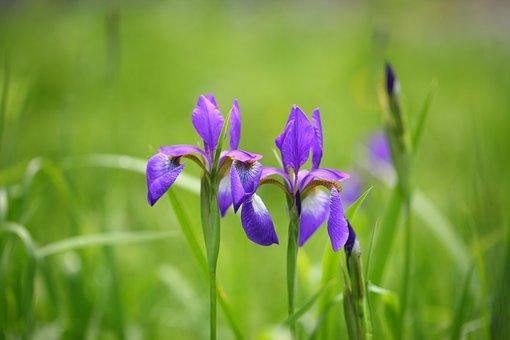 Nature, Plants, Outdoors, Flowers, Grass, Vivid, Iris