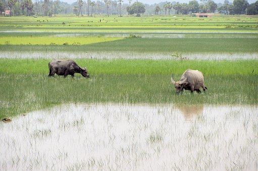 Mammal, Animal, Grass, Animal World, Field, Cattle