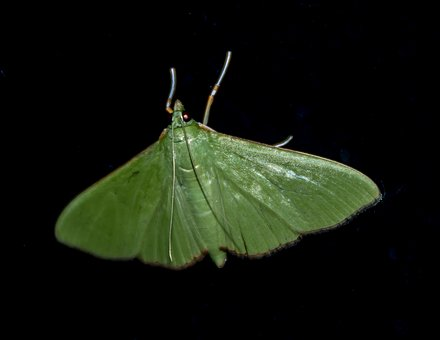 Moth, Insect, Large, Green, Wild, Wing, Night