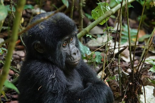 Wildlife, Mammal, Primate, Wood, Nature, Gorilla, Baby