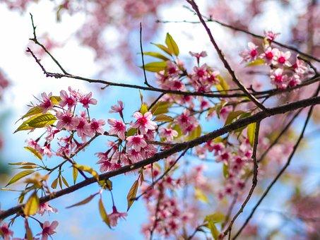 Sakura, Giant Tiger, Muangthai Cherry, Nature, Flowers