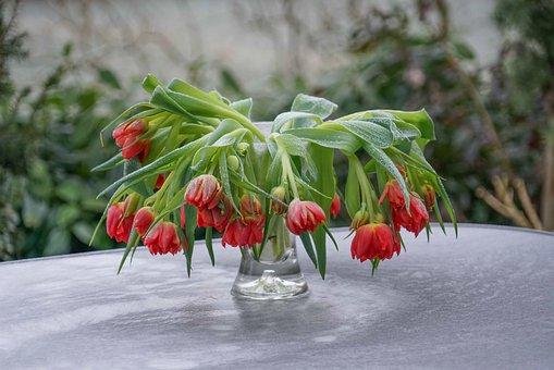 Tulips, Orange, Hanging, Frozen, Frost, Winter