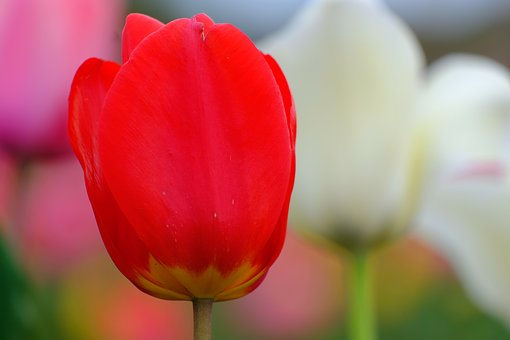 Tulip, Natural, Flowers, Any Person Not, Plant, Vivid