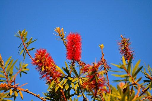 Nature, Bottle Brush, Portugal, Tree, Plant, Flower