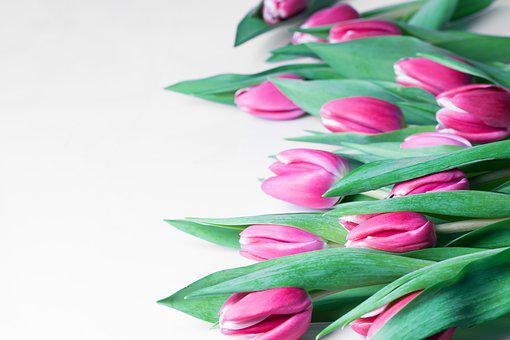 Tulips, Spring, Nature, Plant, Sheet