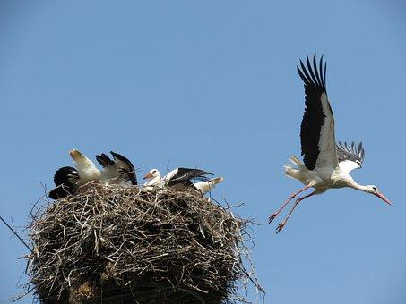 White Stork, Nest, Parents, Storchennest, Nestlings